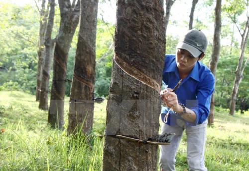 Cao su Hương Khê bắt đầu khai thác mủ