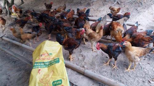 Bắc Giang tìm giải pháp nâng chất lượng gà đồi Yên Thế
