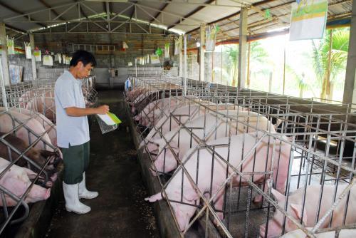 Mô hình chăn nuôi lợn an toàn sinh học.