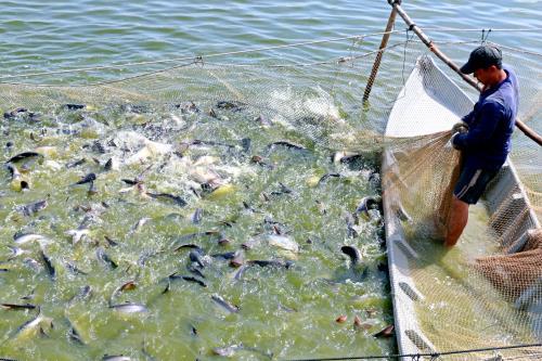 Nuôi cá tra theo mô hình liên kết của Công ty TNHH Hùng Cá ở huyện Thanh Bình , tỉnh Đồng Tháp. Ảnh : Nguyễn Văn Trí – TTXVN