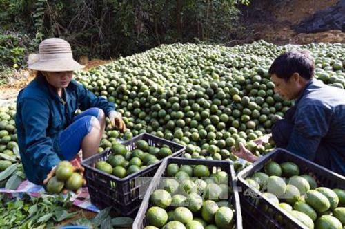 Trồng cam theo tiêu chuẩn VietGap cho doanh thu 260 triệu đồng/ha/năm