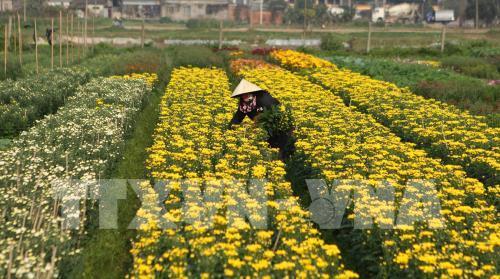 Lang hoa hoi ha ngay can Tet