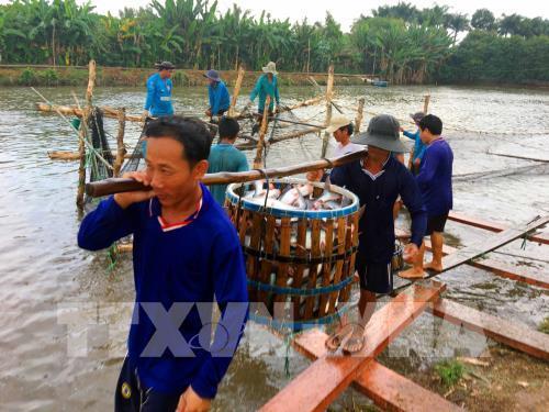 Giải pháp công nghệ cho phát triển bền vững nghề nuôi cá tra