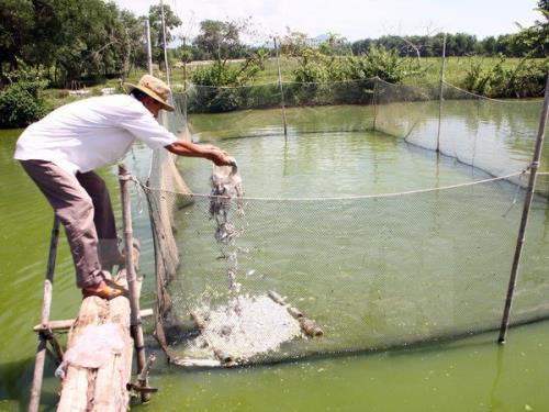 Các sản phẩm đạt tiêu chuẩn VietGap bán cho thương lái không chênh lệch so với cá nuôi truyền thống. Ảnh minh họa: TTXVN