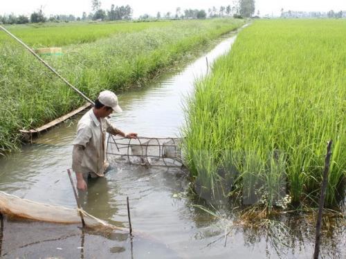 Mô hình luân canh lúa-tôm giúp nông dân vượt khó. Ảnh: TTXVN