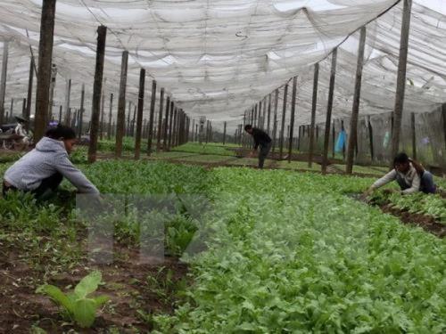 Doanh nghiệp-nông dân bắt tay xây dựng vùng chuyên canh rau an toàn