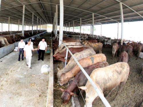 Nông dân thường chăn nuôi bò lồng ghép trong các mô hình. Ảnh: Vũ Sinh-TTXVN