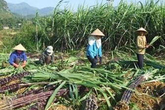 Giá xuống thấp, nông dân phá bỏ mía trồng cây khác