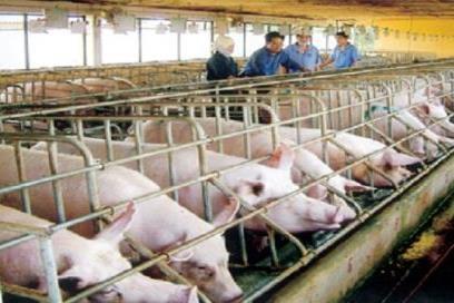 Phạt nặng đối với hành vi sử dụng chất cấm tạo nạc trong chăn nuôi