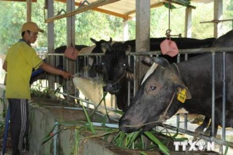 Công ty Nhật Bản khảo sát nuôi bò thịt tại Hà Nam