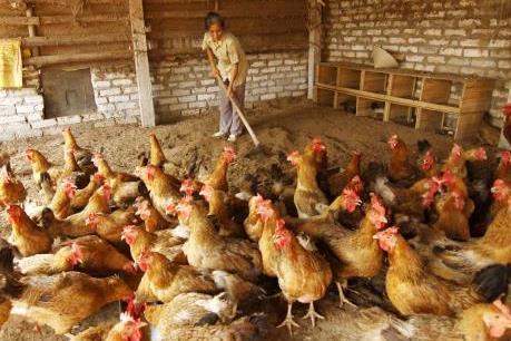 Giá gà công nghiệp ở Đồng Nai tăng trở lại