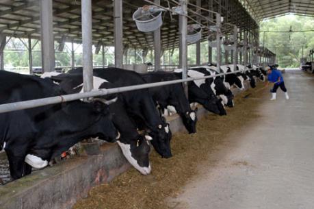 Việt Nam mới tự đáp ứng được 40% nhu cầu sữa trong nước