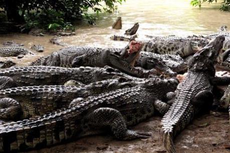 Cà Mau khuyến cáo người dân không nuôi cá sấu tự phát