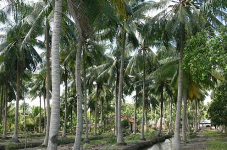 Không trồng dừa trên các tuyến đường ở Tp. Hồ Chí Minh