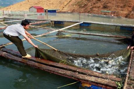 Giá cá tra giảm mạnh, người nuôi không có lãi