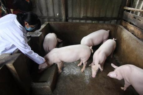 Tây Ninh chặn dịch lợn tai xanh từ Campuchia