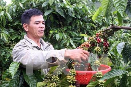 Giá cà phê Tây Nguyên giảm hơn 5,000 đồng/kg
