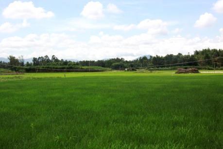 VFA đề xuất 5 nhóm giống lúa chủ lực cho vụ Đông Xuân