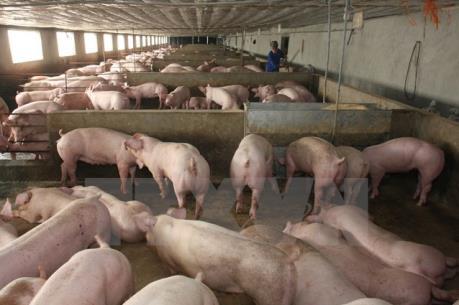 Tây Ninh cấm xuất chuồng 500 con lợn có chất tạo nạc
