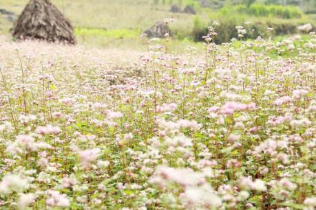 Ngắm hoa Tam giác mạch Hà Giang tại Thủ đô