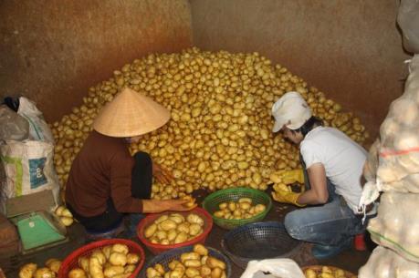 Dán tem chống giả cho khoai tây Đà Lạt