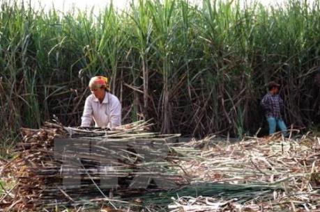 Chi 7 tỷ đồng để xây dựng thí điểm cánh đồng lớn sản xuất mía đường
