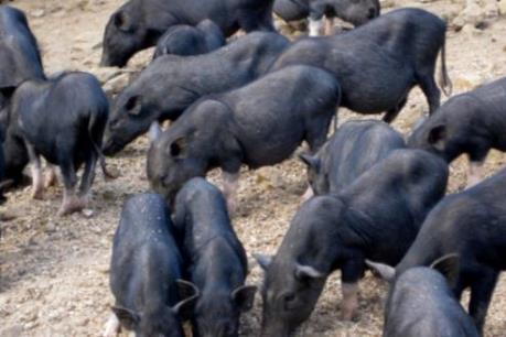 Lợn đen Mường Khương: Tài sản quý của người vùng cao
