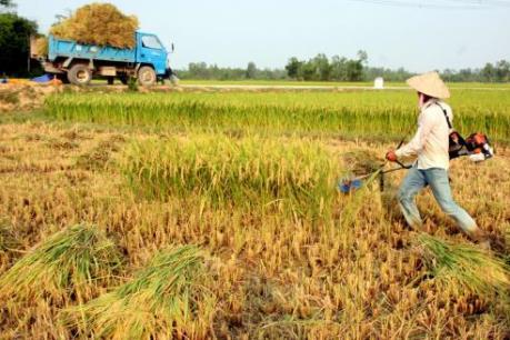 Năng suất thu hoạch đầu vụ ở Tiền Giang vẫn tăng dù hạn mặn