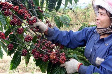 USDA: Xuất khẩu cà phê của Việt Nam có thể tăng cao kỷ lục