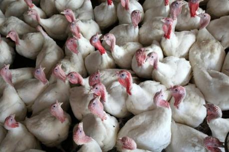 Hàn Quốc ngừng nhập khẩu gia cầm từ Pháp vì H5N1