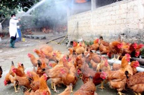 Hàng trăm con gà dự án nhiễm cúm H5N6