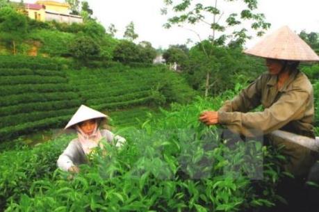 Thái Nguyên cần tính chuyện góp vốn, góp đất trồng chè quy mô lớn
