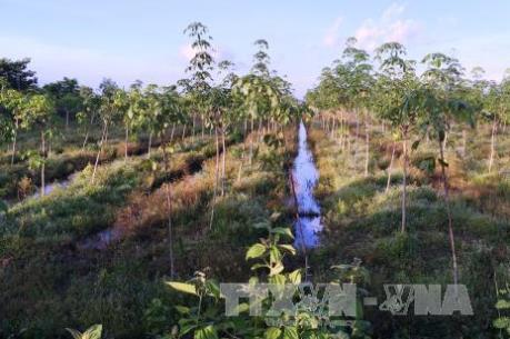Cây cao su ở Đông Nam Bộ-  Bài 1: Tiểu điền chuyển đổi, đại điền ổn định