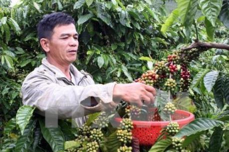 Người trồng cà phê Đắk Lắk lao đao vì mưa trái mùa