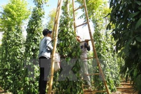 Tết vui với những người trồng tiêu ở Đồng Nai