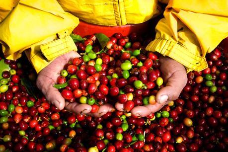 Không kiểm soát được giá, cà phê Việt Nam mất thị phần