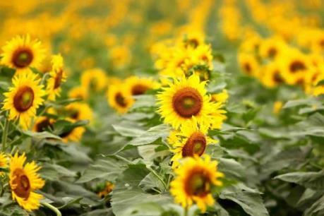 Ngất ngây trước cánh đồng hoa hướng dương vàng rực tại Nghệ An