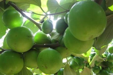 Sự thật về tin táo Ninh Thuận rớt giá thảm, làm thức ăn cho gia súc