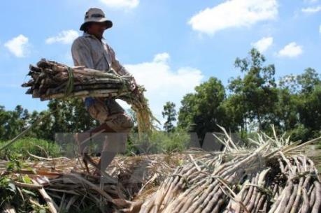 Tây Ninh: Nhà máy đường tăng giá mua mía nguyên liệu 135.000 đồng/tấn