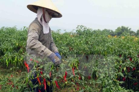 Trồng ớt thu lãi hơn 100 triệu đồng/ha