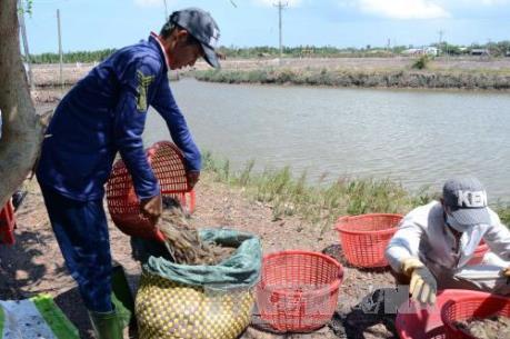 Công ty Aromnat Co., Ltd không được xuất khẩu tôm thẻ chân trắng bố mẹ vào Việt Nam