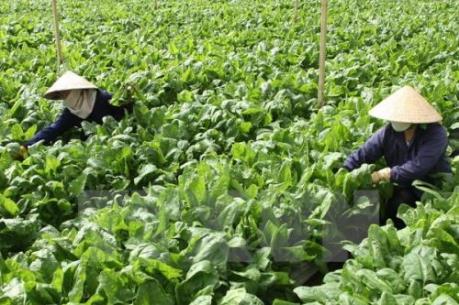 Trên 300.000 tấn rau phục vụ thị trường Tết