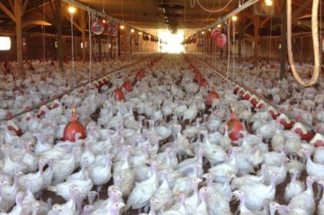 Pháp: Nhiều trang trại chăn nuôi tạm ngừng hoạt động vì cúm gia cầm