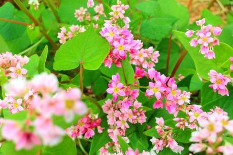 Hoa Tam giác mạch - điểm nhấn cho du lịch Suối Giàng, Yên Bái