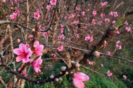 Đào rừng vùng cao Sơn La