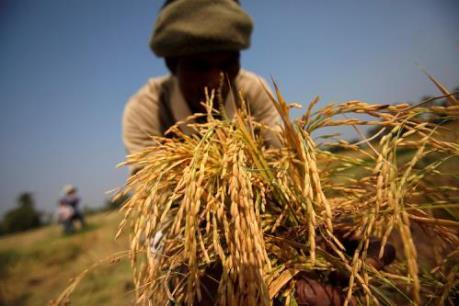 Nông dân Thái Lan đồng ý giảm sản lượng gạo