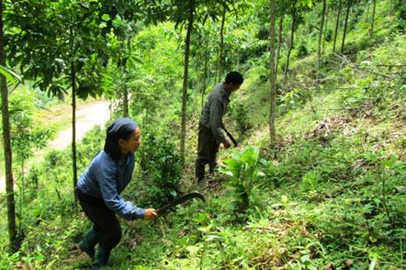 Hộ nghèo được vay vốn trồng rừng, chăn nuôi với lãi suất thấp