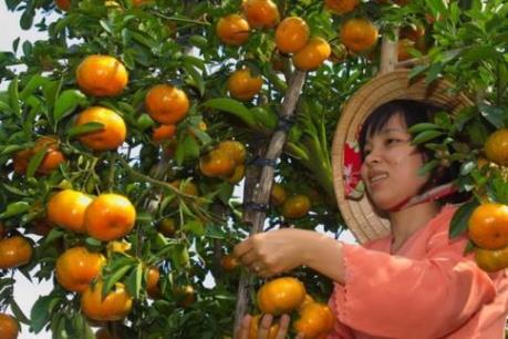 Chuẩn bị 50 nghìn tấn quýt Lai Vung phục vụ tết