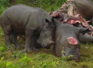Nam Phi: Gần 1.200 tê giác bị giết hại trong năm 2015
