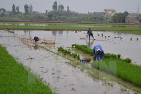 Trên 253.000 ha đã có nước gieo cấy vụ Đông Xuân